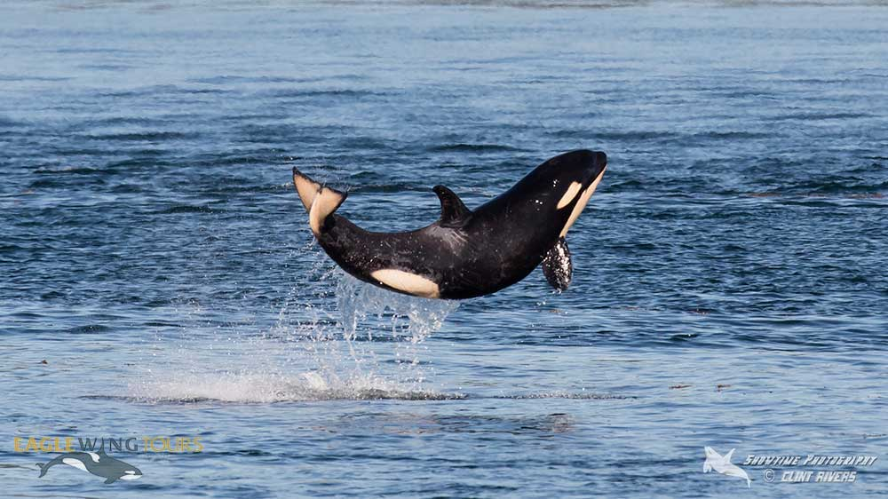 Scarlet, Southern Resident Orca